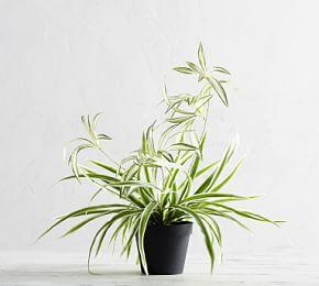 Faux Potted Variegated Spider Houseplant