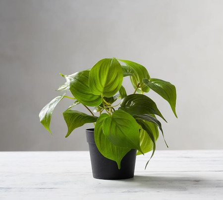 Potted Pothos Houseplant